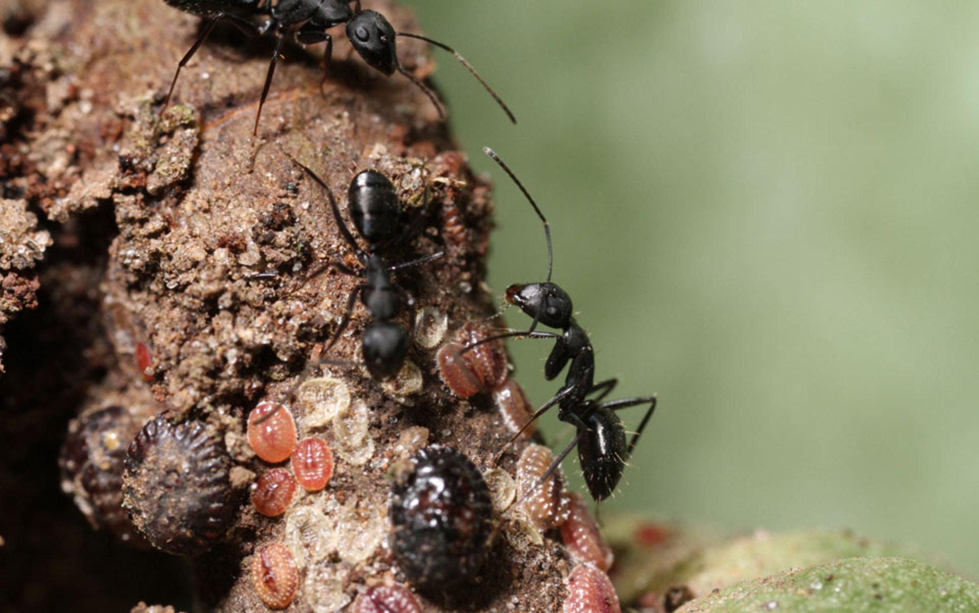 an army of ants is besieging the world u0027s chocolate supply aeon