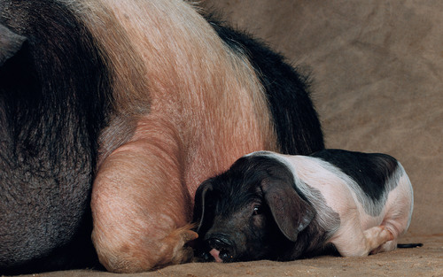 The pig on your plate | Aeon