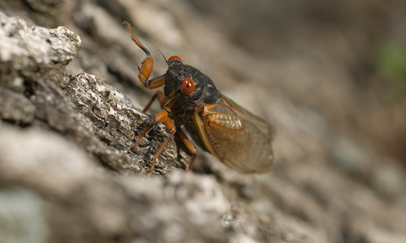 <p>Cicada, North Carolina, May 2011. <em>Photo courtesy Wikimedia.</em></p>