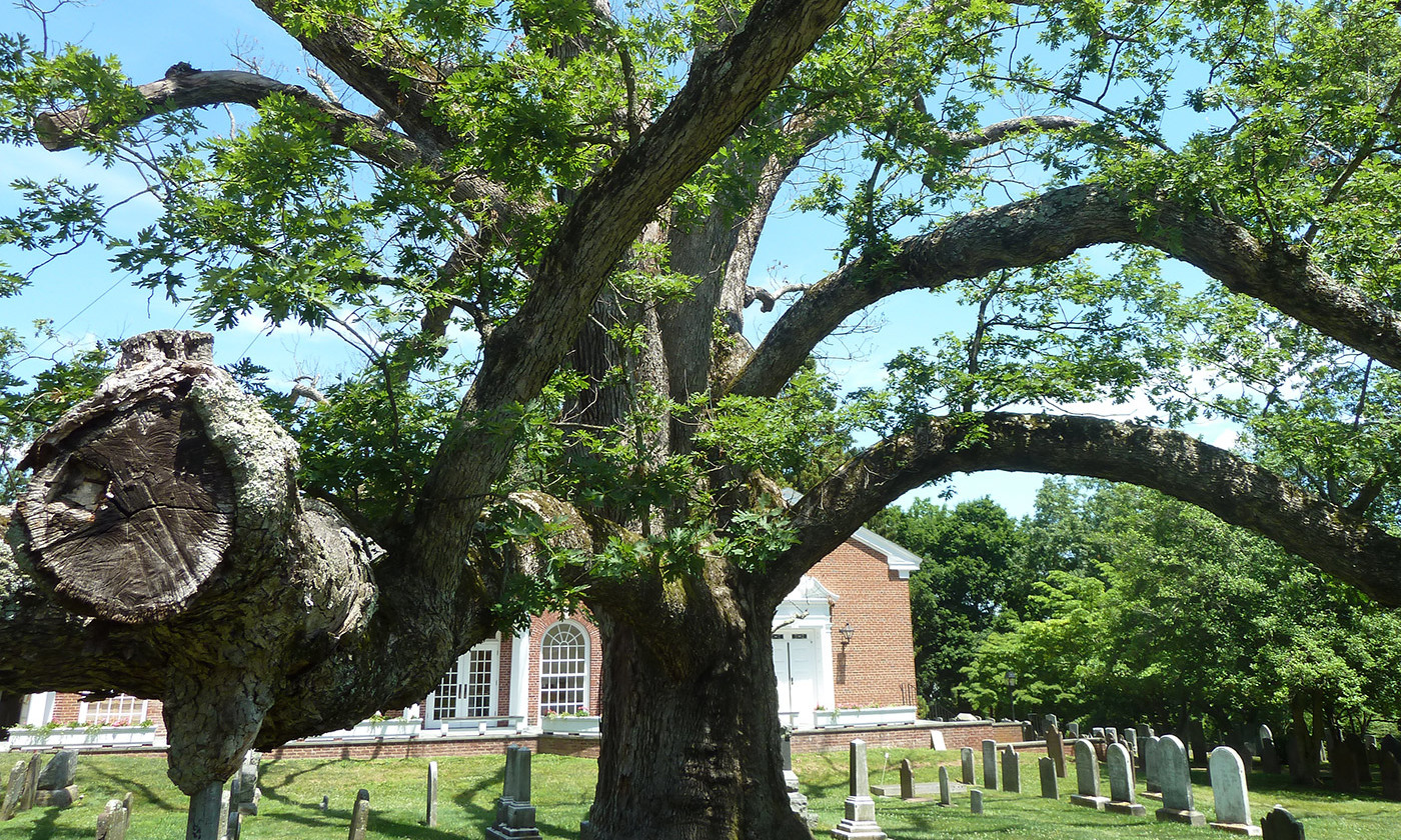 <p>The Basking Ridge oak tree. <em>Photo by Wikipedia</em></p>