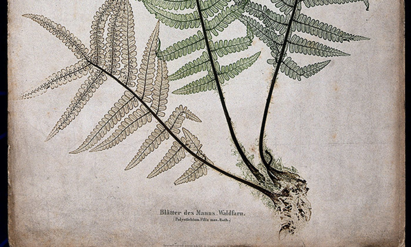 The male fern (Dryopteris filix-mas): fronds and part of rhizome. Colour nature print by A. Auer, c. 1853. <em>Courtesy Wellcome Images</em>