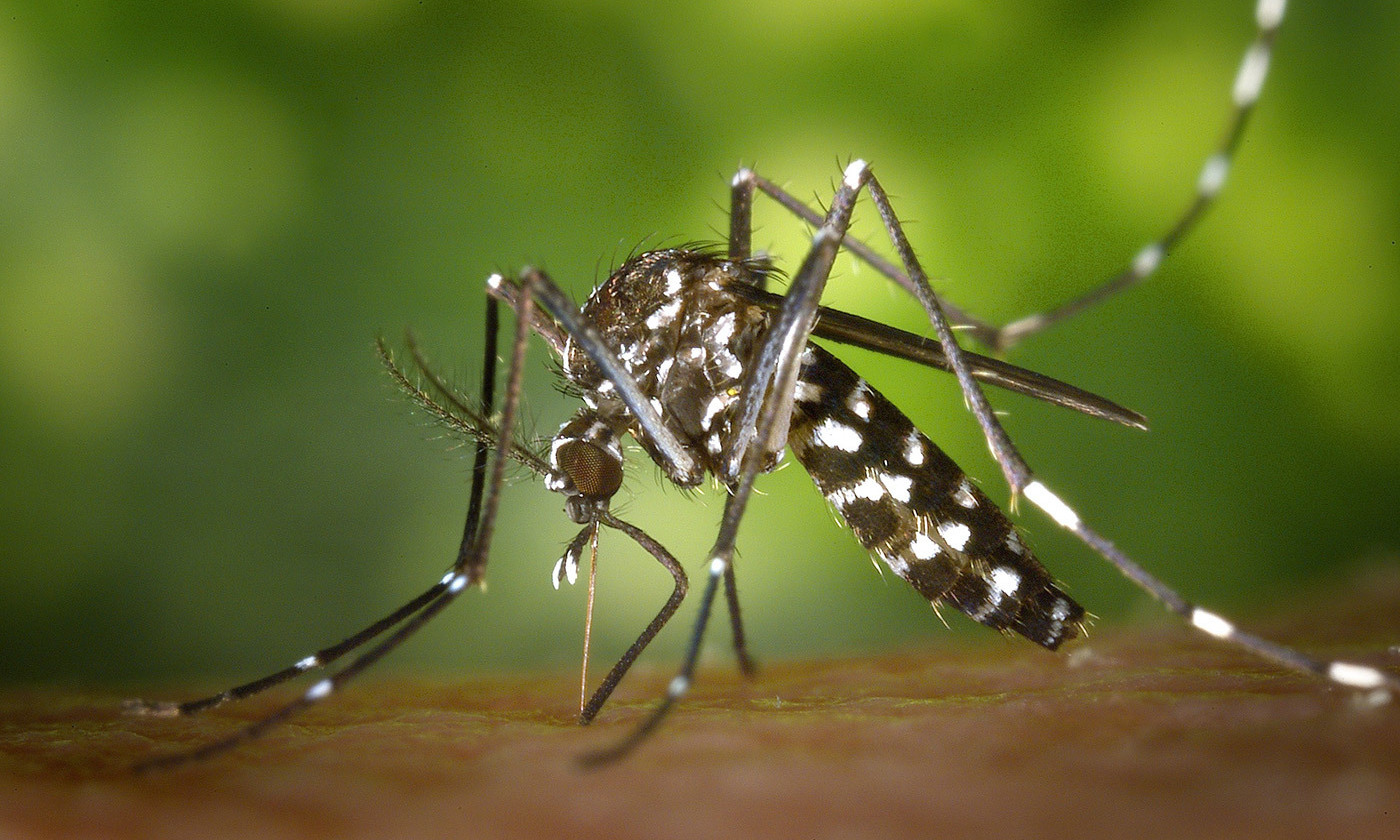 <p>The Asian tiger mosquito has been genetically altered in lab experiments with CRISPR technology in an attempt to limit the spread of disease. <em>Public domain photo</em></p>
