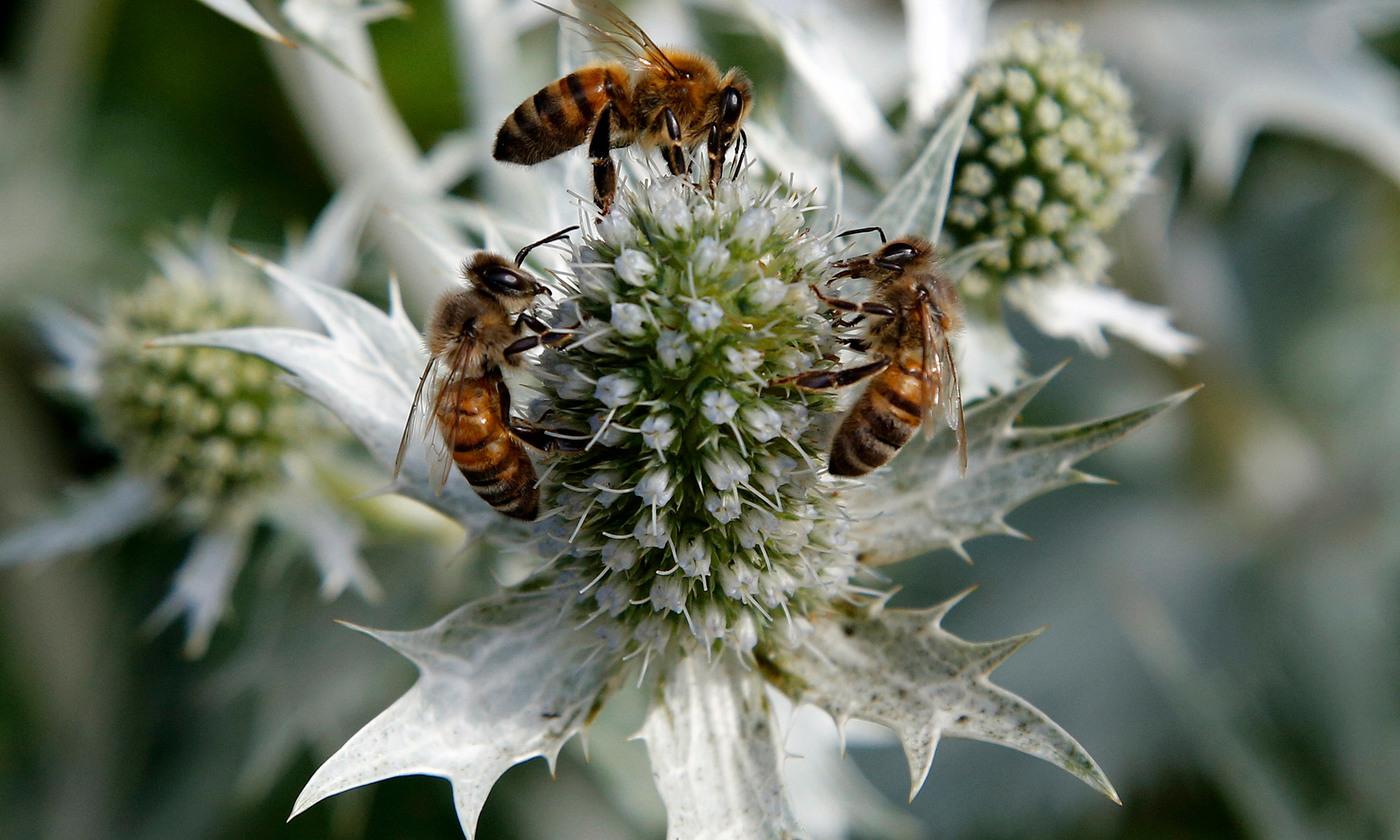 The accidental beekeeper   Aeon