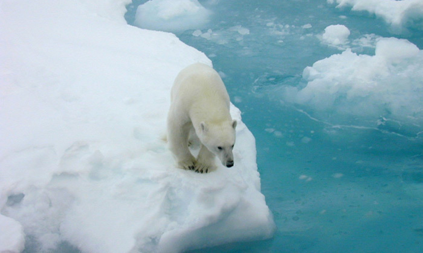 Polar Bears Need To Be Fat And They Cant Be Without Sea Ice Aeon