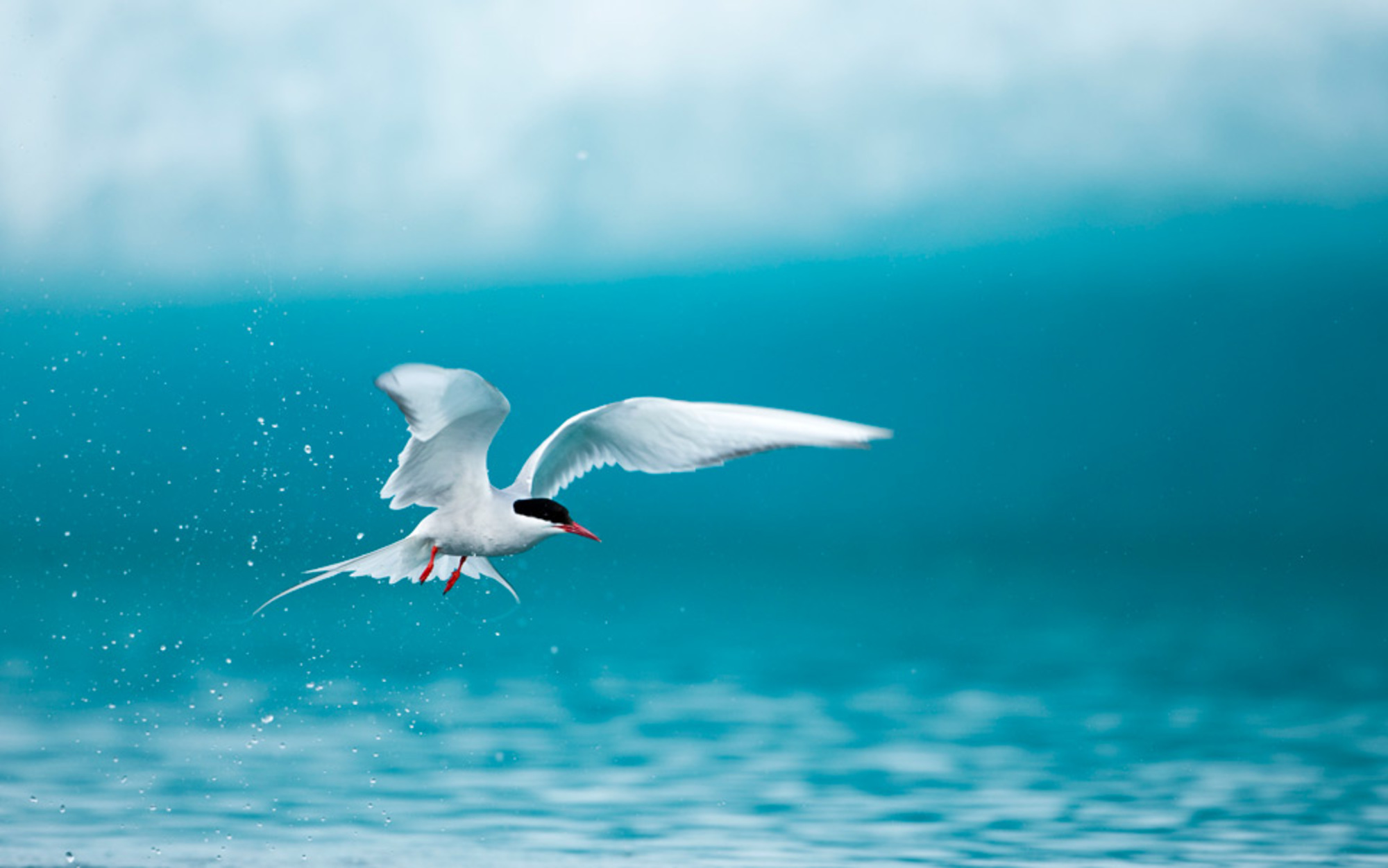 Header arctic tern in iceland
