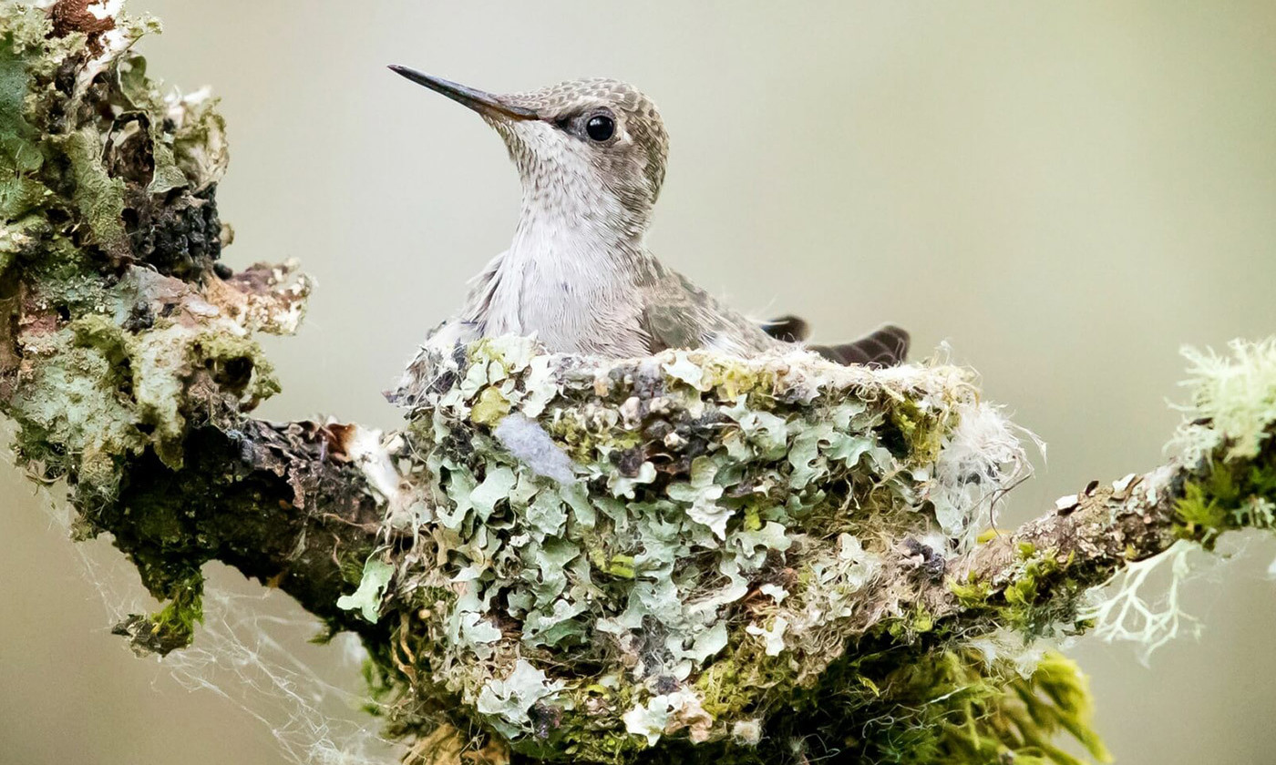 House-proud. An Anna's Hummingbird on its nest, Redmond, WA, 2017. <em>Photo by Mick Thompson/Flickr</em>