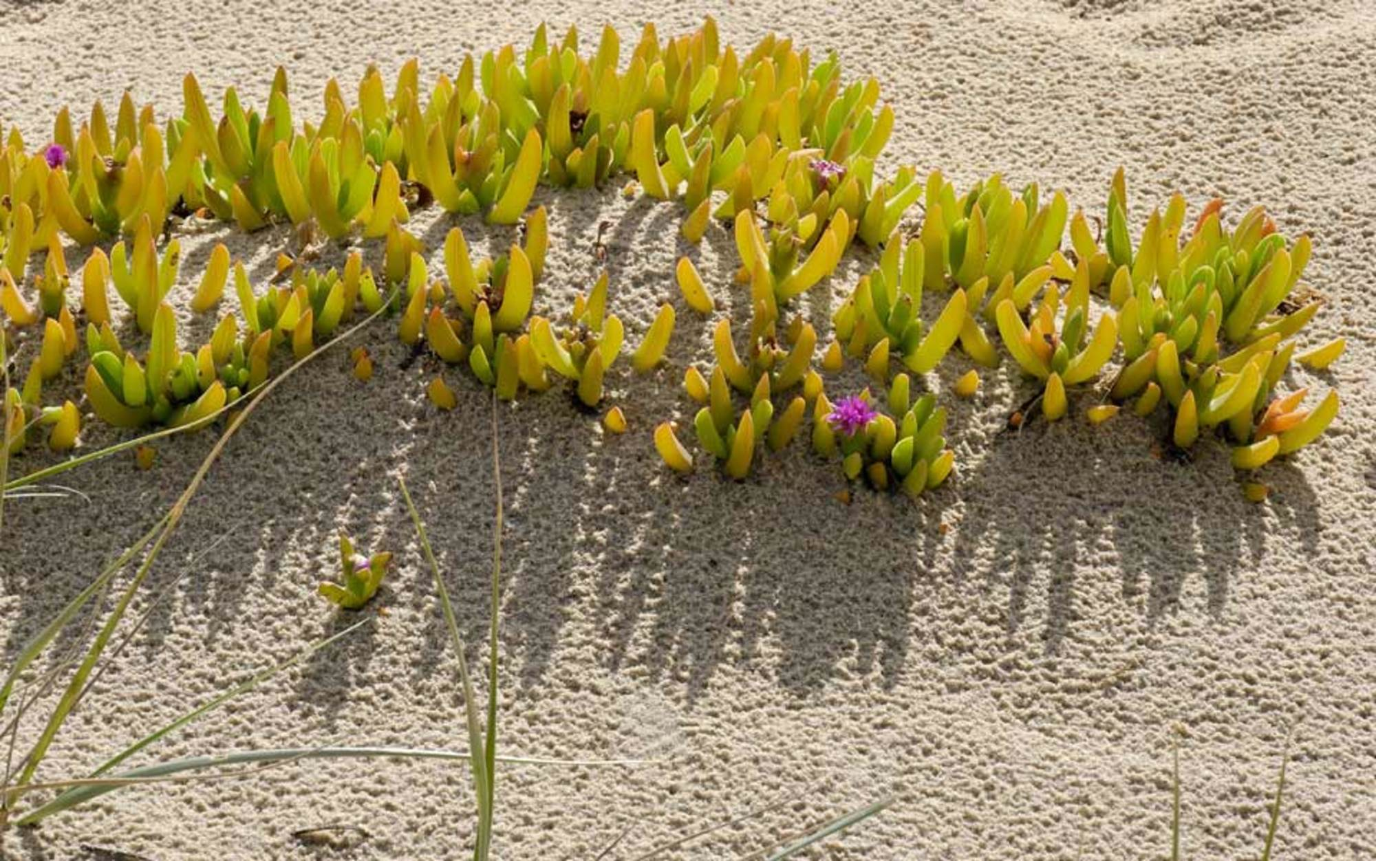 Are Halophytes The Crop Of The Future Aeon Essays