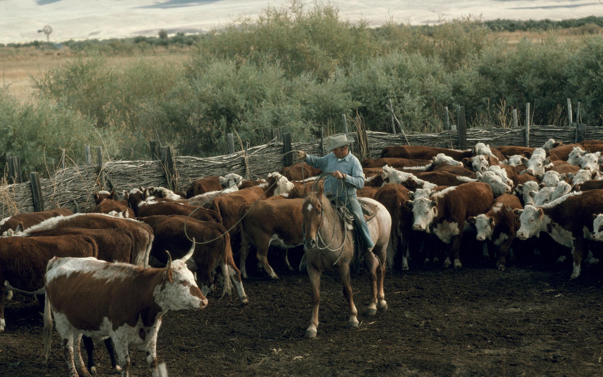 American bull | Aeon