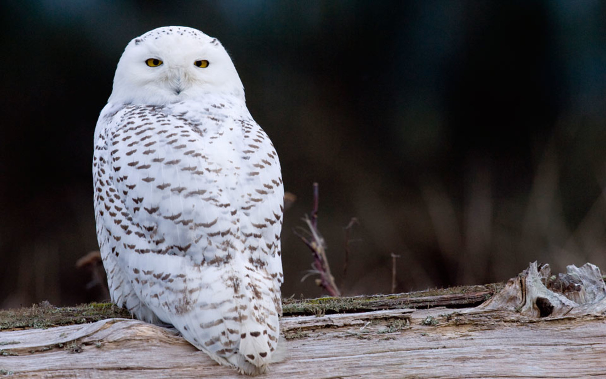 why is the us facing an irruption of snowy owls aeon essays