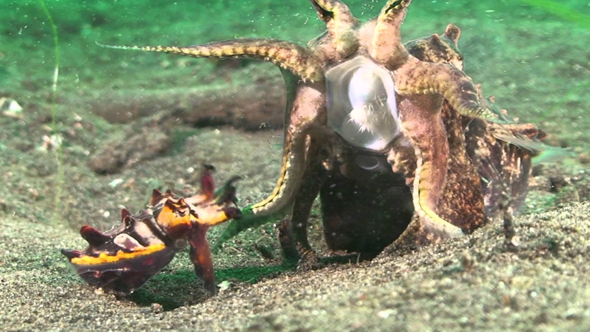The toxic flamboyant cuttlefish is one of the few species to mate face-to-face