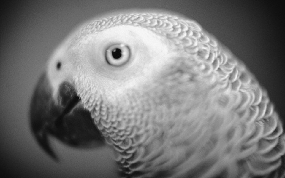 Help me with my essay pet parrot parrot in hindi